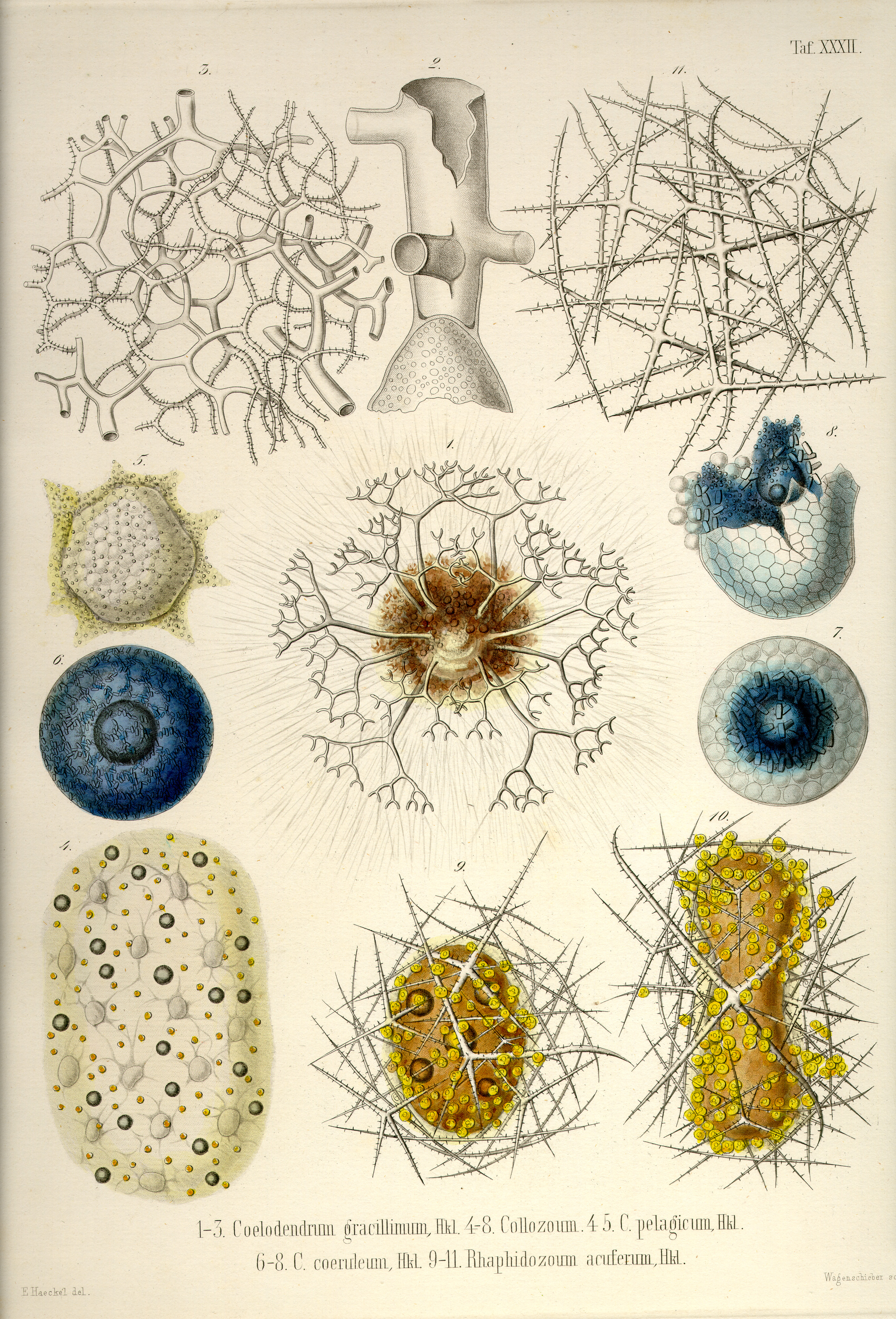 Ernst Haeckel, Plate 32  |  Image Courtesy of Kurt Stüber via his website http://caliban.mpiz-koeln.mpg.de/haeckel/radiolarien/