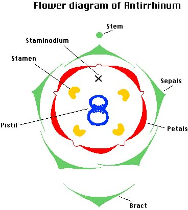 Anatomy Snapdragon Flower