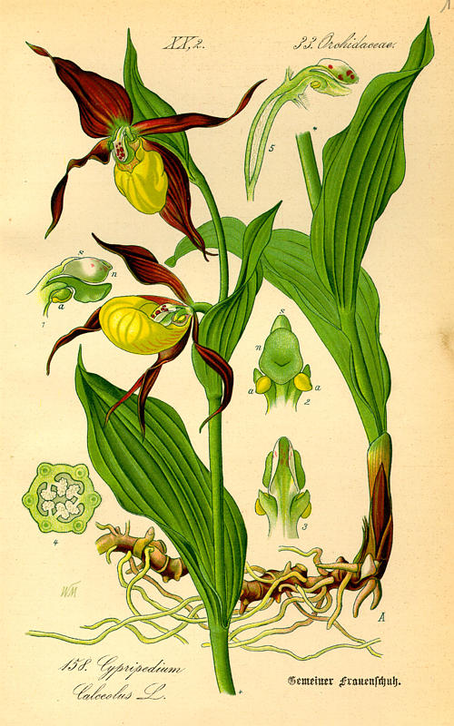 Günther's Homepage - Historical Orchid Literature in the